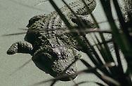 Vereinigte Staaten von Amerika, USA, Florida: amerikanischer Mississippi-Alligator (Alligator mississippiensis) in flachem mit Entengruen bedecktem Wasser. | United States of America, USA, Florida: American Alligator, Alligator mississippiensis, laying in shallow duckweed swamp. |