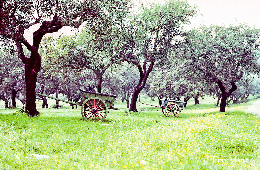 Wooden carts for cork harvest in a forest of cork trees.