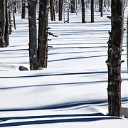 Grove of Trees near Biscuit Basin with linear tree shadows on snow