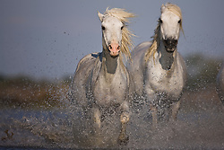 White horses of the Camargue (Equus ferus caballus) running through a lake, manes flying in the wind with water splashing motion blur, evening light,  Le Camargue, Provence, France