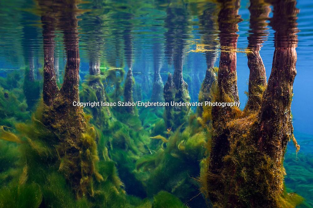 Underwater Scene (Cypress Knees and Lyngbya algae, Florida Springs)<br /> <br /> Isaac Szabo/Engbretson Underwater Photography