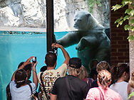 Polar bear Gus in Central Park Zoo