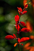 Red leafs on a plant in a garden
