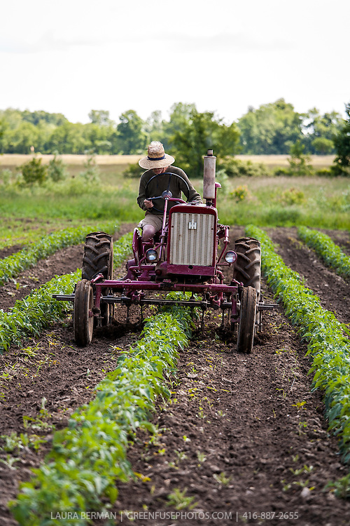 Organic farmer Ted Thorpe cultivates his field of heirloom tomatoes on his old FarmAll tractor.