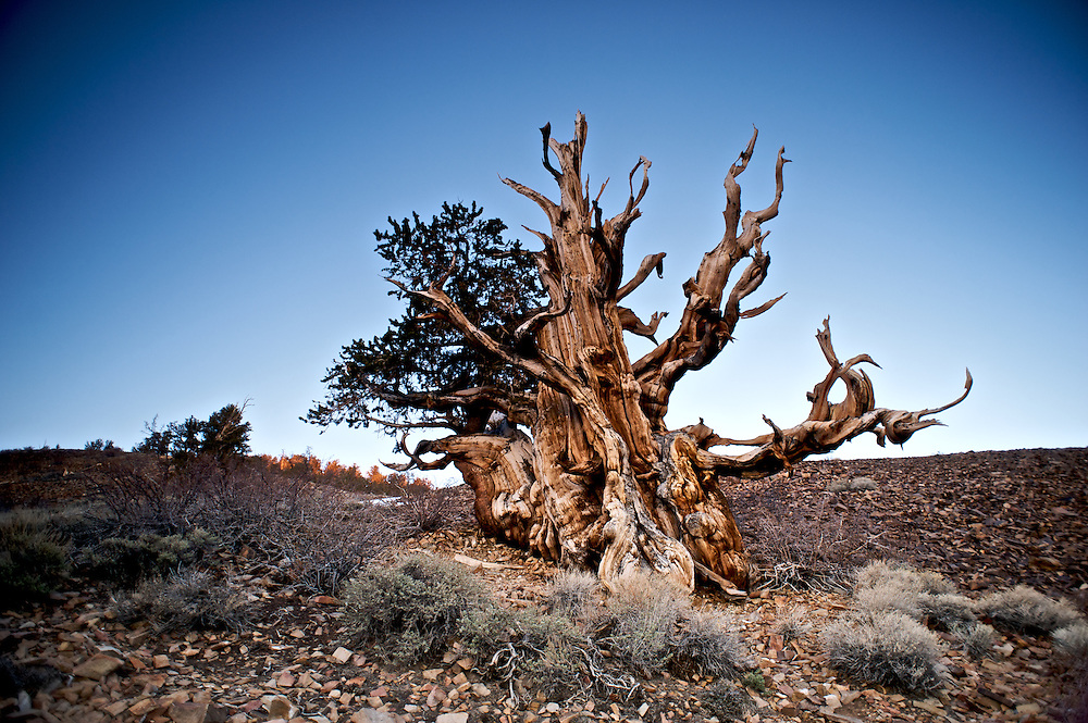 The Bristlecone Pine is considered to be the oldest living organism on earth, reaching ages that exceed 4,000 years.  Here an ancient tree stands in the Shulman Grove in the Sierra's White Mountains.