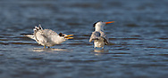 Royal Tern baby begging for food, parent turns the other cheek