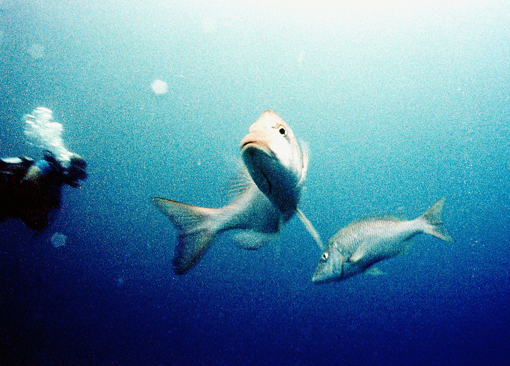 Fish trying to escape from scuba diver, off the Great Barrier Reef, Australia