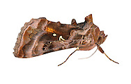 73.016 (2442)<br /> Beautiful Golden Y - Autographa pulchrina