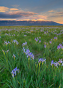 Sunset light on Blanca Peak and a wild iris meadow on the Medano Ranch, CO