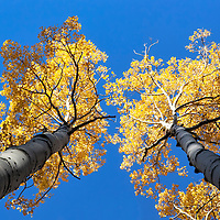 Golden leafed aspens reach for the clear blue sky, near Flagstaff, Arizona