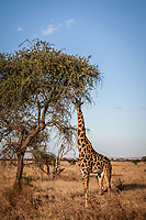 Giraffe in the Serengeti, Tanzania.