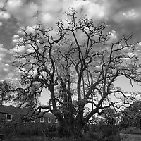 Umbu, Chacara Santa Tecla, Bage, Rio Grande do Sul, Brasil, foto de Ze Paiva, Vista Imagens.