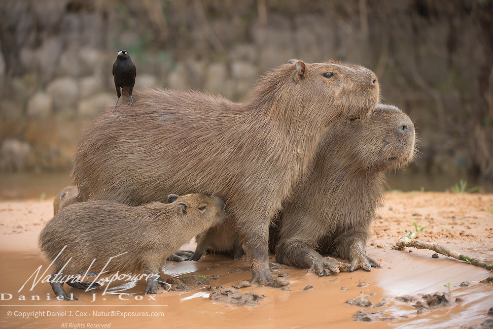 A portrait of a capybara (Hydrochoerus hydrochaeris) family. A cowbird sits on the back of the adult. Cuiabá River; Pantanal, Brazil