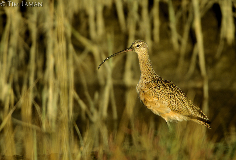 A Long-billed curlew (Numenius americanus).