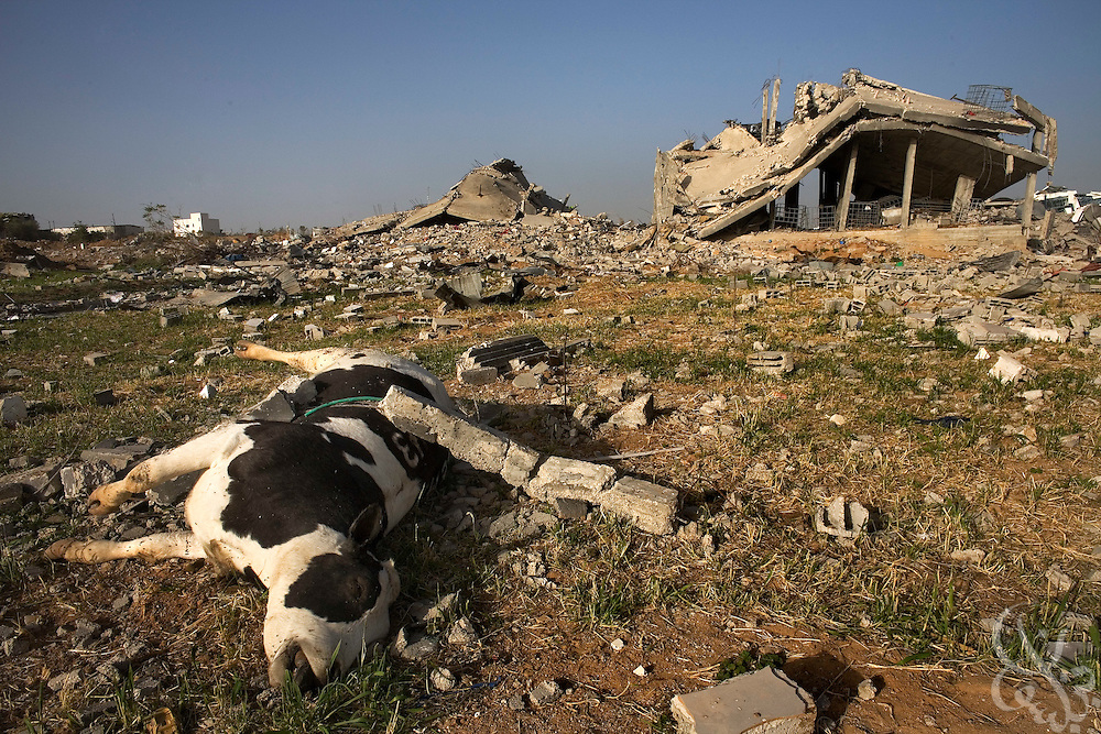 A dead cow lies near destroyed Palestinian homes January 25, 2009 in the Izbet Abid Rabbo district of Gaza. A week after the end of Israel's 22 day operation against HAMAS in Gaza, Palestinians are struggling to come to terms with their losses and adapt to the massive impact the operation has made on their everyday lives.