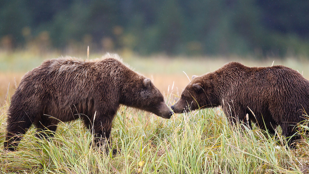 Two North American brown bear /  coastal grizzly bear (Ursus arctos horribilis) sows sniff each other in a grassy field, Lake Clark National Park, Alaska, United States of America