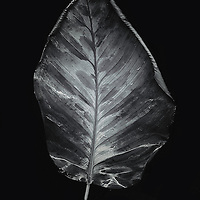 A leaf in black and white