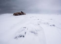 Walrus (Odobenus rosmarus) in winter at Moffen, Svalbard, Norway