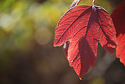 Autumn coloured leaves