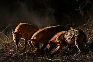 T&uuml;pfelhy&auml;nen oder Fleckenhy&auml;nen (Crocuta crocuta) haben die Impala-Beute einer Leoparding ger&auml;ubert, Schutzgebiet Sabi Sands, S&uuml;dafrika<br /> <br /> Spotted hyenas (Crocuta crocuta) took over the impala prey of a female leopard, private game reserve Sabi Sands, South Africa