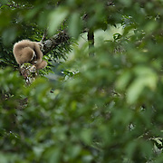 White-handed Gibbon (Hylobates lar) sleeping on a branch in Kaeng Krachan national park, Thailand