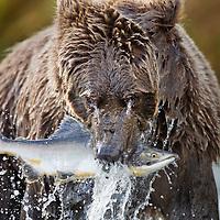 USA, Alaska, Katmai National Park, Coastal Brown Bear (Ursus arctos) bites into spawning Chum Salmon in stream along Kinak Bay