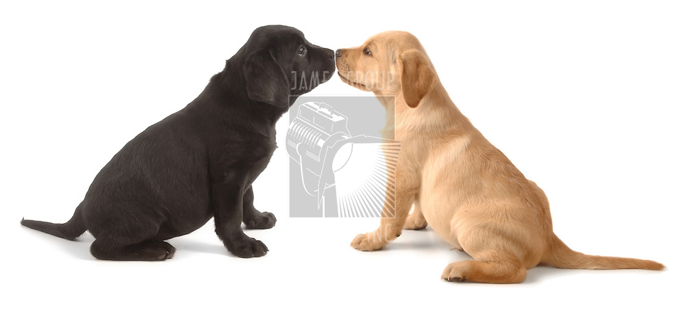 Two Labrador Retriever puppys leaning on one another on a white background.