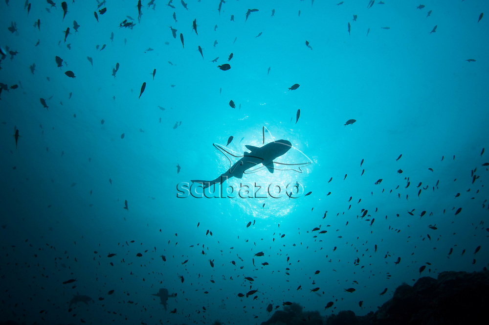 The silhouette of a White-tip Reef Shark, Triaenodon obesus, with sunlight behind, Sipadan Island, Sabah, Malaysia.