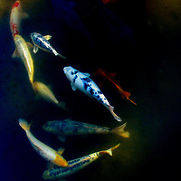 Koi carp swimming