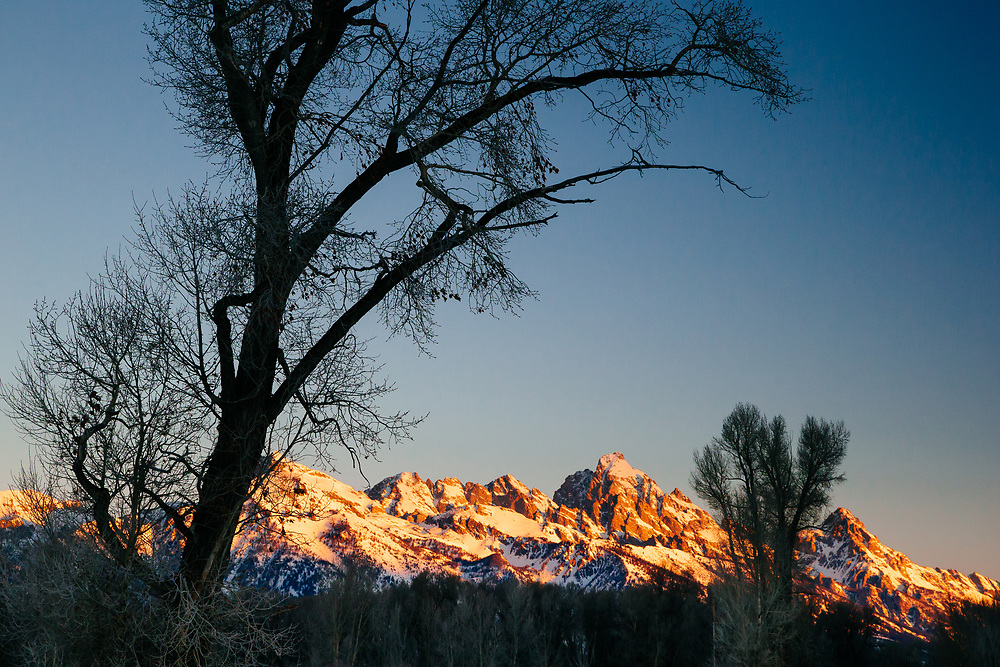 The Tetons at sunrise through frost covered cottonwoods during winter.