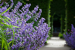 Nepeta in The Old Garden at Hidcote Manor. Catmint