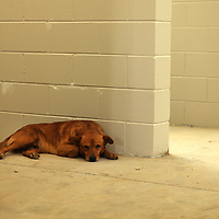 A stray dog takes a rest inside a kennel as he hangs out among the workers during the construction of the new Tupelo-Lee Humane Society building Thursday morning in Tupelo.