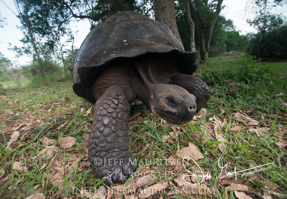 A Galapagos Giant tortoise walks through the highlands of Santa Cruz island.