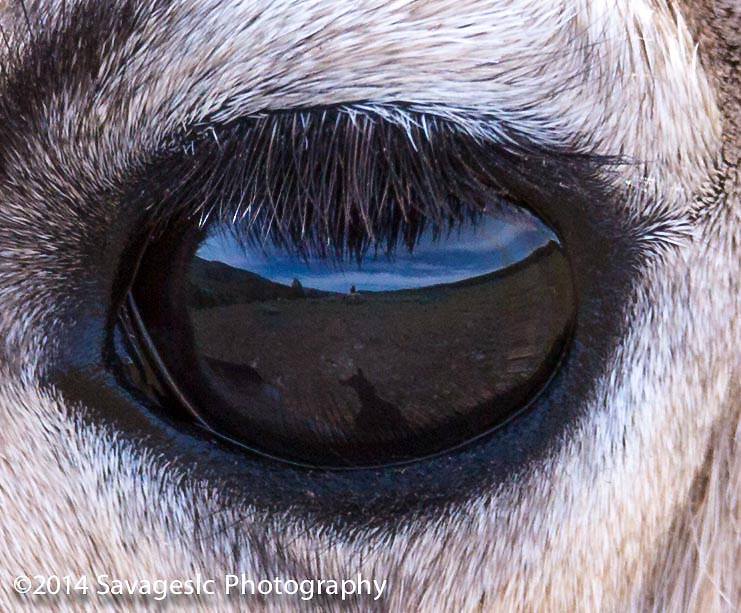 Yellowstone reflected through the eye of a pronghorn. Note the pronghorns shadow and the photographer behind the rock.