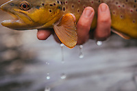 Fly fishing for wild Rainbow Trout and Brown Trout on the Watauga River i North Carolina and Tennessee.