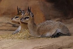 03 July 2006  A quick vacation through Iowa to Omaha.  Klipspringer. (Photo by Alan Look)