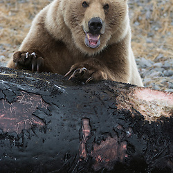 Brown bear trying to break through the tough, rubber like skin of a grey whale carcass that has been washed ashore, Unimak Island, Alaska