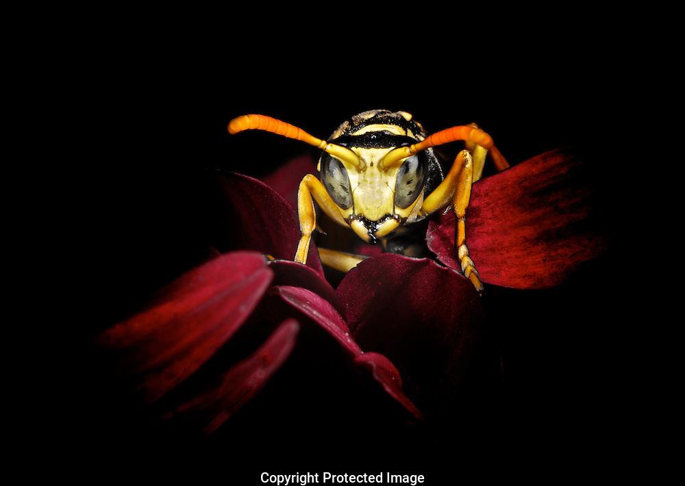 European Paper Wasp. (Polistes dominulus), Comox Valley, British Columbia, Canada, Isobel Springett