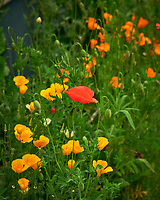 Red and California Poppy Image taken with a Nikon D810a camera and 105 mm f/1.4 lens.