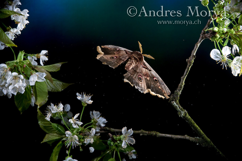 Emperor Moth in Flight, Saturnia pavonia, Switzerland Image by Andres Morya