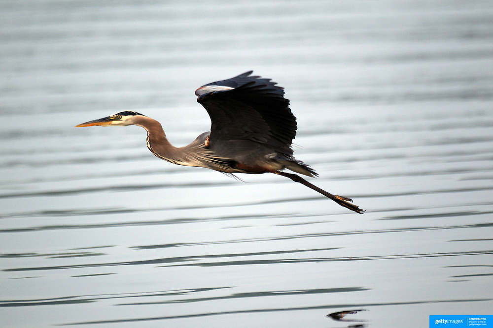 A Blue Heron at Mercer Lake, Caspersen Rowing Center, West Windsor, New Jersey. USA. 27th June 2013