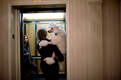 "Here, Inge is carried by her ""mother,"" Holly Sundbeck, in the elevator of the Hotel New Yorker..---.New York, NY: Feb 13 2011: ""Inge"" (official full name is Grand Champion Hanna's Dan Inge Fair Sun,) the #2 nationally ranked Standard Poodle is owned by Arvid and Holly (713-818-5894) Sundbeck of Beach City, TX. She is groomed by Kadie Bonds (936-444-3064) and handled by Betty Brown. The WSJ followed Inge's journey through the 135th Westminster Kennel Club dog show. First held in 1877, the Westminster Kennel Club Dog Show is America's second-longest continuously held sporting event, behind only the Kentucky Derby. Inge and her entourage - which included ""parents"", a groomer, a handler, a photographer and a veterinarian - arrived via private jet on Friday afternoon and resided at the New Yorker Hotel on 34th and 8th during their stay. Included in this collection are images of the arrival at Teterboro Airport in New Jersey on Friday, a Sunday grooming session in the New Yorker's Pet ""Spa"" followed by a dinner of several McDonald's cheeseburgers. On Monday, Inge left the hotel just after 6AM, walked a few blocks to Madison Square Garden and spent the next 5 or so hours being prepped by groomer Kadie Bonds for the ""Best of Breed"" competition, where she was to compete against 22 of the finest Standard Poodles in existence. The four year-old female (or ""bitch"" in dog circles) entered Ring One with handler Betty Brown around 11:45AM and, after three rounds of assessment by judge Dennis McCoy, was eventually granted an ""Award of Merit"", essentially identifying her as the second best bitch in the breed. Her entourage was mostly excited - it is a significant honor to receive any acknowledgement at the WKC show - but a tinge of disappointment was detectable as anything but a ""Best of Breed"" rank signified the end of Inge's journey in New York..---.Credit: Rob Bennett for The Wall Street Journal.Slug:"