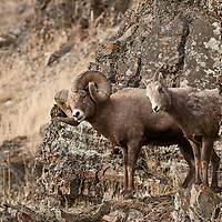 bighorn ram pins ewe in rocks on cliff rutting wild rocky mountain big horn sheep