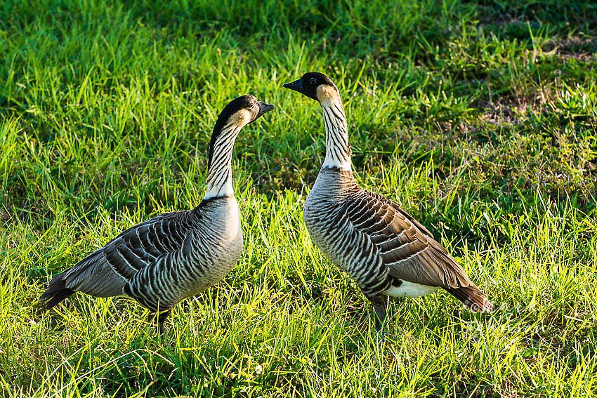 Nene Geese pair, Kauai, Hawaii, USA
