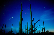 The Sonoran Desert light by the full moon in Saguaro National Park West near Tucson, Arizona, USA.