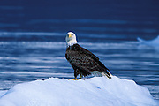 Bald eagle on glacier iceberg