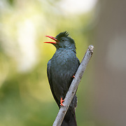 The black bulbul (Hypsipetes leucocephalus), also known as the Himalayan black bulbul or Asian black bulbul, is a member of the bulbul family of passerine birds.
