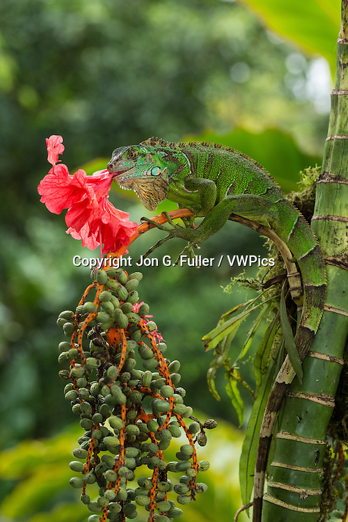 A juvenile Green Iguana,  Iguana iguana, eating a hibiscus flower in Costa Rica.  Iguanas are primarily herbivores.