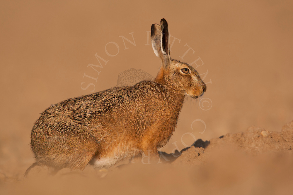 European Hare (Lepus europaeus) adult, resting in ploughed field, Norfolk, England