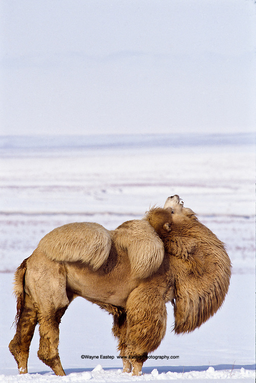 Bactrian male camel in the Steppes of Kazakhstan. Winter with temperatures -24 f.